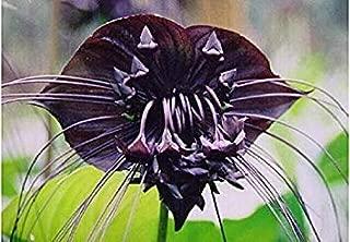 発芽種子:100個ブラックタイガーは、種子を蘭、タイガー種子蘭鉢植え種子、Baのシャル