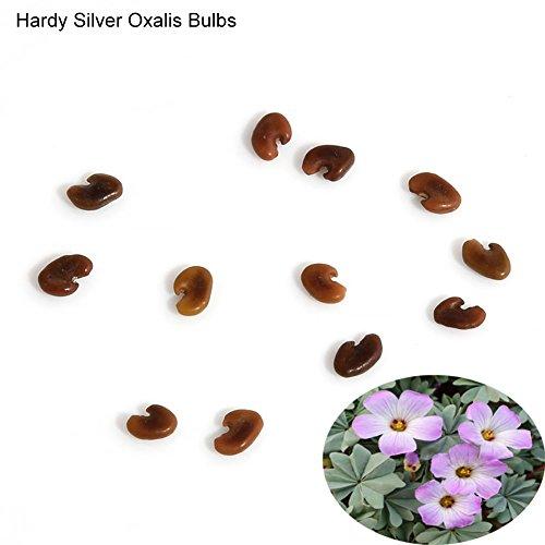 Blumenzwiebeln, Kleeblatt, Oxalis, Triangularis, leicht zu pflanzen, 10 Stück