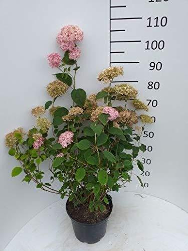 Späth Ballhortensie 'Pink Annabelle' LH 40-60 cm im 7,5 Liter Topf Hortensie winterhart Zierstrauch rosa blühend 1 Pflanze