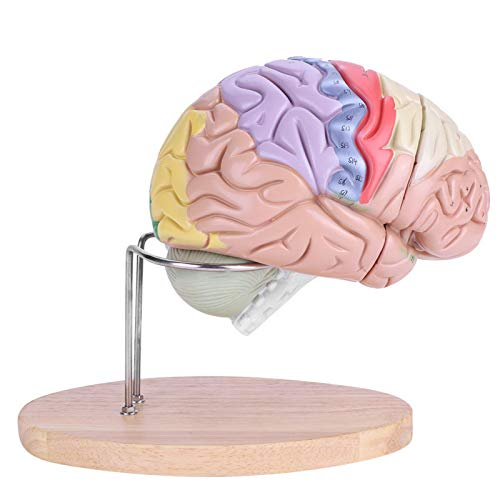 Brain Model, Medical More Quickly More Clearly Human Brain, Different Vivid Colors Identify for Medical Kids Home School