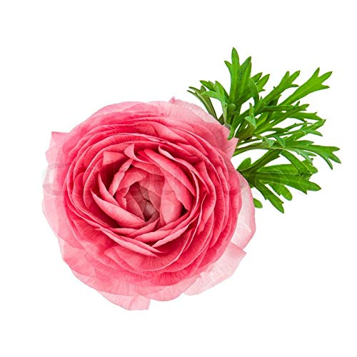 Pink French Peony Ranunculus - 12 Largest Size Corms Bulbs