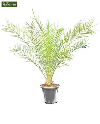Kanarische Dattelpalme - Phoenix canariensis - verschiedene Größen (150-170cm - Topf Ø 40cm)