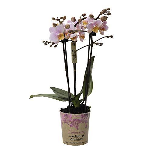 "Phalaenopsis""Pink"" | Schmetterlingsorchidee | Rosa Blüte | Höhe 35-40 cm | Topf-Ø 9 cm"