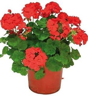 Geranio Rojo, Rosa, Blanco, Naranja, Morado Planta Natural