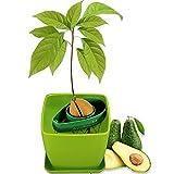 AvoSeedo Schüssel-Set zum Anbau Ihres eigenen Avocadobaums, immergrün, perfektes Avocado-Baum-Wachstums-Set für jeden Avocado-Liebhaber mit Plan-Topf, Grün und Grün (Mehrfarbig)