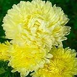 30+イエロー公爵夫人アスター/自己シード年次花の種子