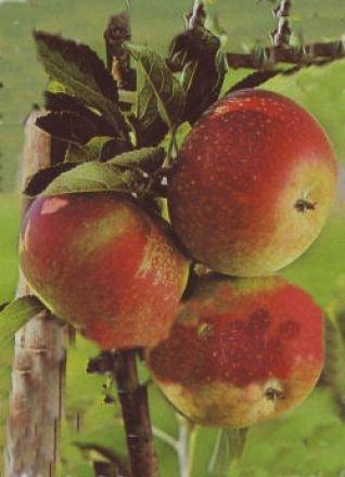 Apfelbaum Holsteiner Cox ? Malus Holsteiner Cox Containerware / 120-160 cm hoch,