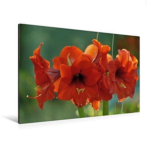 Premium Textil-Leinwand 120 cm x 80 cm quer, Amaryllis | Wandbild, Bild auf Keilrahmen, Fertigbild auf echter Leinwand, Leinwanddruck: Ein Motiv aus dem Kalender Blüten Blätter im Gegenlicht