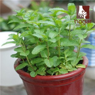 2016 réel Seeds Jouer Chi-hsueh-ts'ao Nep Nip Seed Garden Utilisez Bonsai Nepeta Cataria cataire Catswort Catmint Catnep Catrup Cat