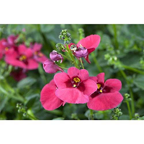 Diascia - Elfensporn, pink - im Topf 11 cm, in Gärtnerqualität von Blumen Eber - 3 Töpfe a 11 cm