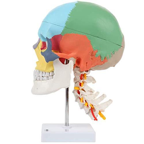 JJIIEE Menschliches farbiges Kopfschädelmodell, lebensgroßer anatomischer Schädel Mit Halswirbelsäule, 3 Teile für Medizinstudenten Demonstration des menschlichen Anatomie-Studienkurses, Lehre