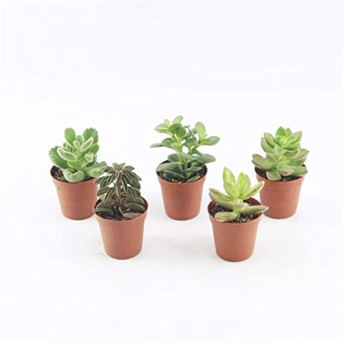 20 Sukkulenten im 5,5er Topf, 5 Sorten 8-15 cm - LEBENDWARE Succulenten