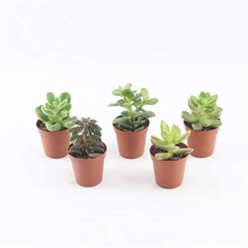 10 Sukkulenten im 5,5er Topf, 5 Sorten 8-15 cm - LEBENDWARE Succulenten