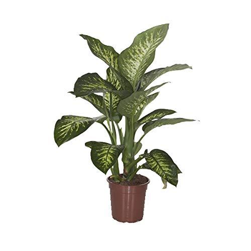 Plante d'intérieur de Botanicly – Dieffenbachia Seguine Tropic Snow – Hauteur: 80 cm