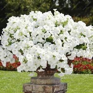 100pcs hängende Petunien Samen Melisse ursprünglichen Blumensamen mehrjährigen Blumen für Hausgarten Bonsai Topf pflanzen Petunie 3