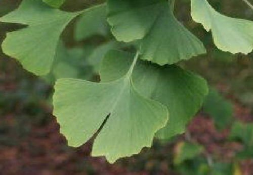 Ginkgo gingko tree seedling stunning ancient hardy plant LIVE PLANT