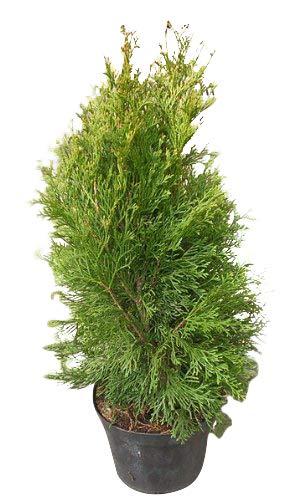 Thuja occidentalis *Lebensbaum* Samen (Mengen wählbar 100,250,500 oder 1000 Samen) (100)