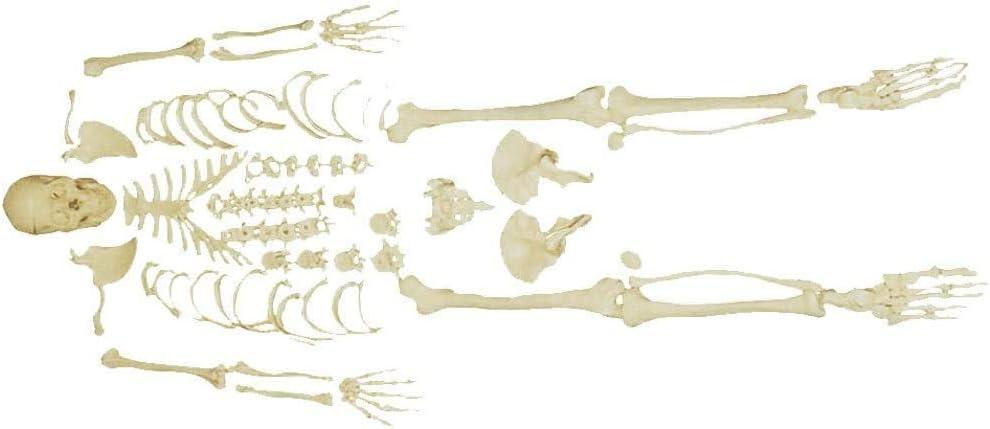 XYSQWZ Anatomical Model Ranking TOP15 Disarticulated Full Ranking TOP9 Medic Skeleton Human