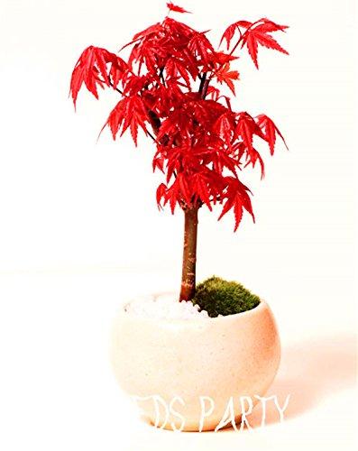20 graines / sac Nouveau jardin des plantes du Nord érable à sucre Acer Saccharum Rocher érable Couleurs d'automne Arbre Graines Livraison gratuite