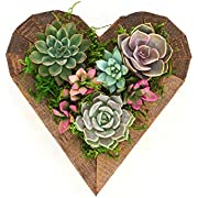 Shop Succulents Living Succulent Heart Wood Planter- Succulent Centerpiece - Arrives Planted - Valentine's Day Gift - Low Maintenance - 7""