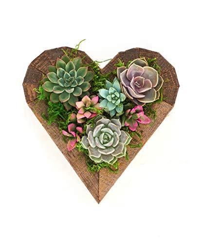 """Shop Succulents Living Succulent Heart Wood Planter- Succulent Centerpiece - Arrives Planted - Valentine's Day Gift - Low Maintenance - 7"""""""