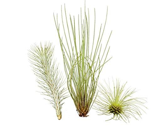 Allterra Ausgefallenes Tillandsien 3er-Set, 1 Tillandsia festucoides, 1 Tillandsia funckiana, 1 Tillandsia fuchsii v. gracilis
