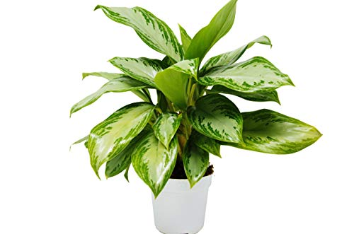 Chinese Evergreen #039Silver Bay#039  4quot Pot  Live Houseplant
