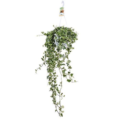 Hedera helix Eva   Gemeiner Efeu   Kletterpflanze   Höhe 50-55cm   Topf-Ø 17cm