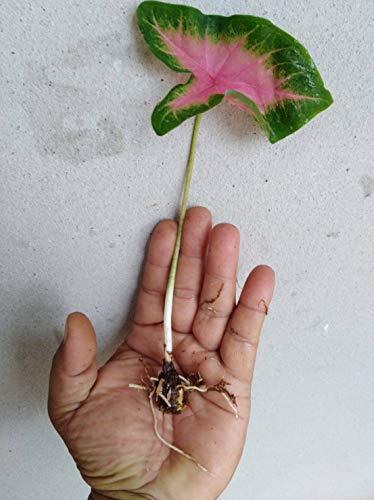 Ferry 2 Birne Caladium-Birnen-Sommer-blühende Pflanze