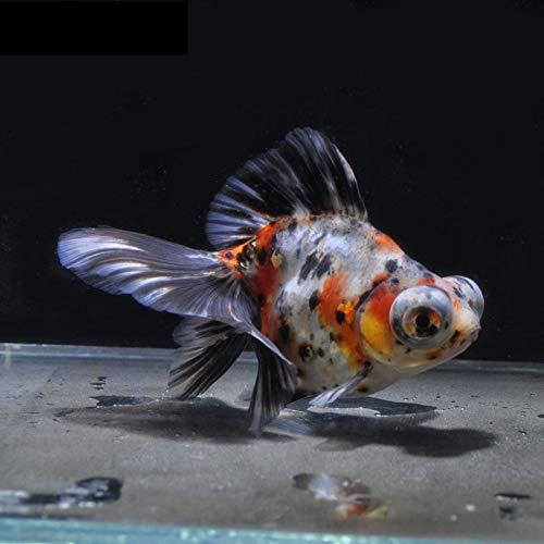 【金魚王子】キャリコ蝶尾 (12.5センチ前後) 個体番号:vbn826 金魚 きんぎょ 生体 蝶尾 厳選個体