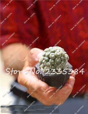 24: Rare Exotic Cactus Seeds Plantes Succulentes Cactus Bleus Pour La Décoration De La Maison Jardin Purifiez L'air Et Empêchent Le Rayonnement - 100 Pcs