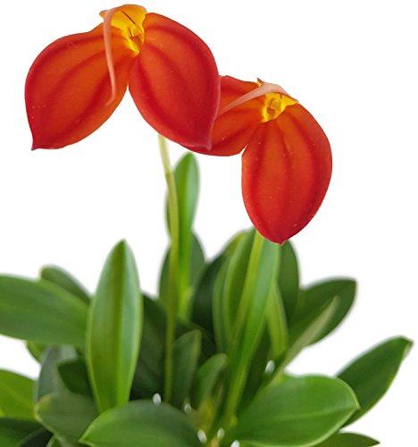 rote Masdevallia Ignea - seltene Naturform der Masdevallie - botanische Orchidee für das halbschattig Fenster