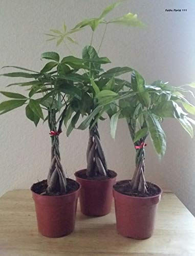 Money Tree Live Plant Potted in 4' Container. 5 Braids....