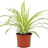 Zoom IMG-1 chlorophytum variegatum di alta qualit