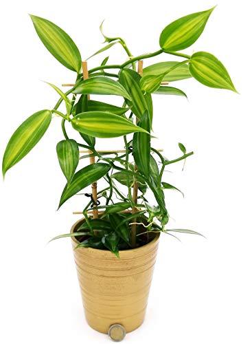 Orquídea vainilla versión navideña, en jarrón de cerámica dorado, planta auténtica