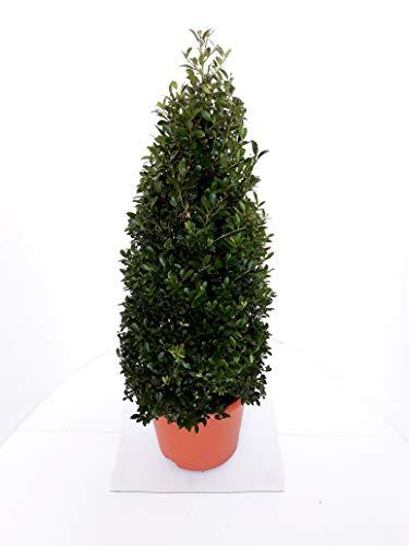 2 x Ilex crenata Stokes, Kegel, Pyramide, Höhe: 60-70 cm, Alternative Buchsbaum + Dünger !