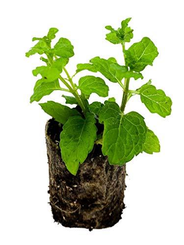 Marokkanische Minze   kleine Minze Pflanzen   echte Minze   Aromatisch   Winterhart   Mentha spicata   ⌀3,5cm Wurzelballen (12)