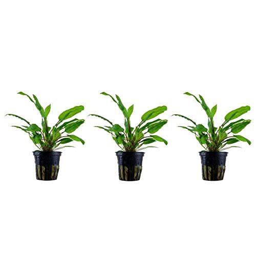 Aquarium Pflanze 3 Stück Cryptocoryne wendtii 'Green' Wasserpflanzen Nr.109 Set