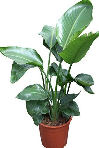 Zimmerpflanze Paradiesvogelblume - Strelitzia reginae - Exotische Pflanze für Wohnraum und Wintergarten