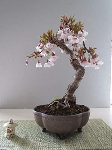 10 Pcs Cherry Tree Bonsai Seed Blossom Beautiful Flowering, Hardy Perennial Tree