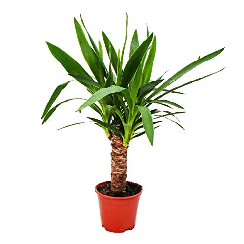 Exotenherz - Yucca Palme - Palmlilie -14cm Topf