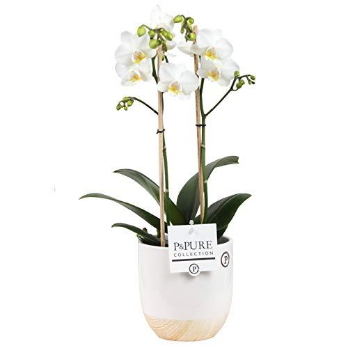 Orchidee – Schmetterlingsorchidee in weißem Keramiktopf in Holzoptik als Set – Höhe: 45 cm, 2 Triebe, weiße Blüten