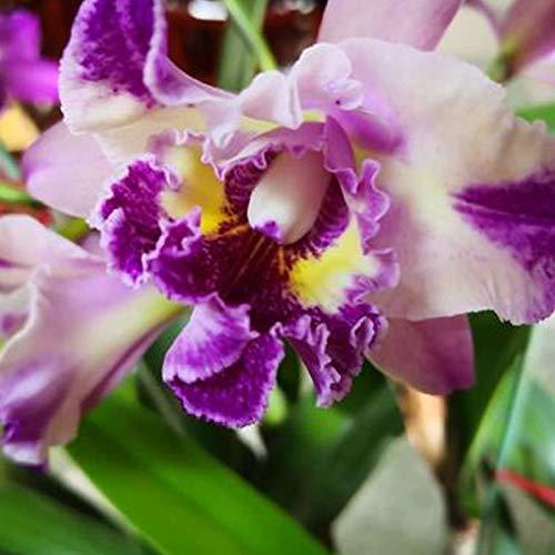 TOYHEART 50 Pezzi Semi di Fiori Premium, Semi di Cattleya Non OGM Decorativi Grandi Fiori Dimensioni Semi Ibridi di Orchidea Cattleya per Balcone Viola