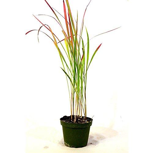 Japanese Blood Grass - 4'' Pot