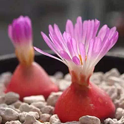 Tiowea Adorable bloem Bonsai geurende zaden geurende bloemen vetplanten zaden bloemenzaden