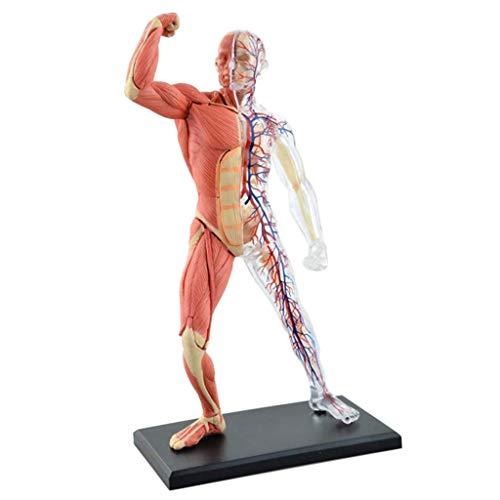 Menschlicher Muskel und Skelett Anatomie Modell - 45 Abnehmbare Organe und Körperteile Menschlicher Muskel Anatomie Artikelnummer- für Studium anzeigen Teaching Medical Modell,Puzzle Montage Spielzeug