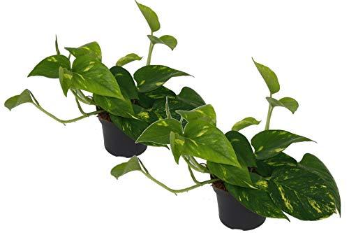 Efeutute, Scindapsus, (Epipremnum aureum) Sorte: Aureum, gelb-grünes buntes Blattwerk, rankend, Ampelpflanze, luftreinigend (2er Set im 12cm Topf)