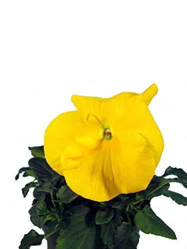 Stiefmütterchen gelb Traditionelle Frühlingspflanze