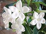 Semi ad alto tasso di germinazione Pflanzen samen stephanotis - 18 samen La confezione contiene 1 set di semi L'immagine è solo un'indicazione di tipo