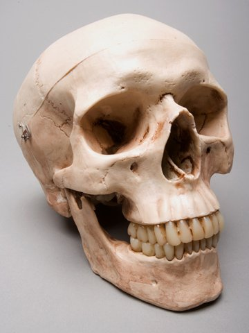 Skeletons and More SM200DA -g- de 2e classe de cr-ne Harvey